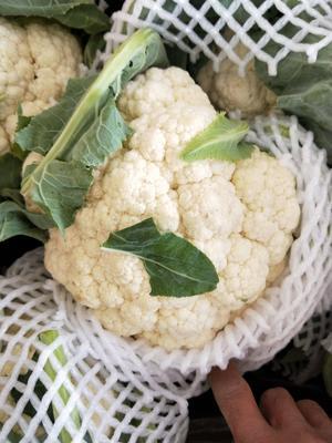 河南省开封市通许县银冠菜花 紧密 2~3斤 乳白色