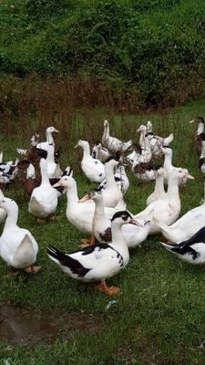 广西壮族自治区玉林市博白县一点花鸭 公 全散养 8-9斤