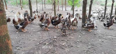 广西壮族自治区北海市合浦县麻鸭 统货 全散养 5-6斤