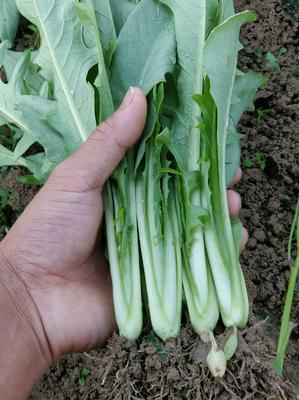 广西壮族自治区玉林市博白县苦麦菜苗 种苗