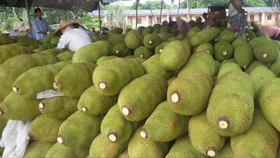 海南省海南省白沙黎族自治县海南菠萝蜜 15斤以上