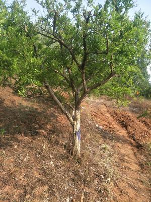 山东省枣庄市峄城区造型石榴树