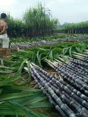 广西壮族自治区玉林市博白县黑皮甘蔗 3m以上 6 - 8cm