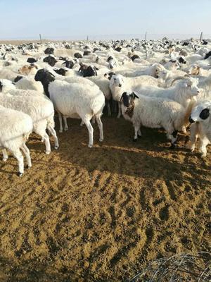 内蒙古自治区锡林郭勒盟锡林浩特市绵羊 80-110斤