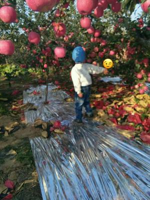 这是一张关于红富士苹果 纸袋 表光 80mm以上的产品图片