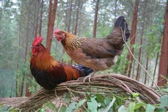 广西壮族自治区玉林市北流市茶花鸡 统货 2-3斤