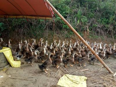 广西壮族自治区钦州市灵山县麻鸭 母 全散养 4-5斤