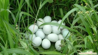山东省临沂市蒙阴县山地鸡鸡蛋 食用 箱装