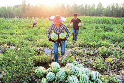 山西省忻州市忻府区花皮有籽 有籽 1茬 9成熟 3斤打底