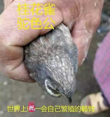 河南省商丘市永城市芦丁鸡 统货 2斤以下