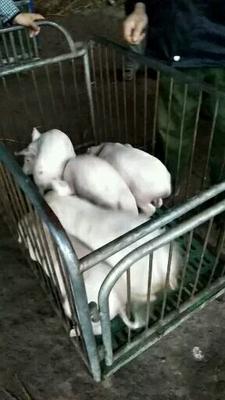 重庆荣昌县土白猪苗