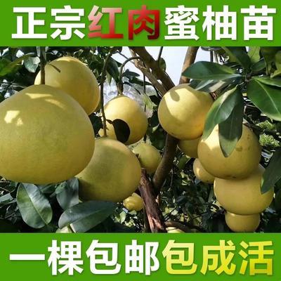 柚子苗 嫁接苗 0.35~0.5米
