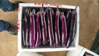 广东省湛江市徐闻县紫长茄 4两以上