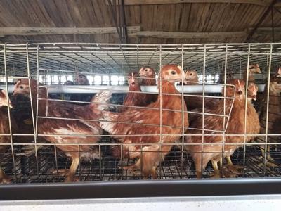 河南省鹤壁市山城区青年鸡 母 2斤以下