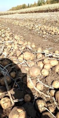 吉林省四平市公主岭市延薯四号土豆 3两以上