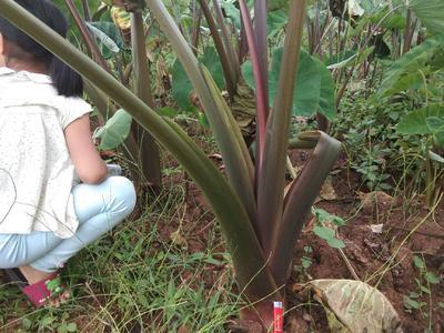 云南省红河哈尼族彝族自治州开远市人头芋 3cm以上