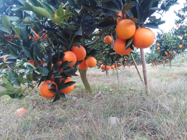 纽荷尔脐橙 70-75mm 4-8两