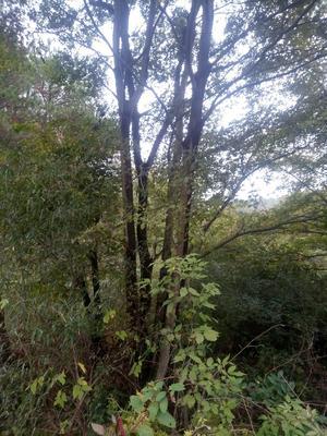 这是一张关于丛生朴树的产品图片