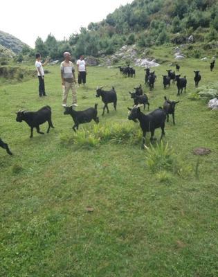 贵州省毕节市威宁彝族回族苗族自治县黑山羊 50-80斤