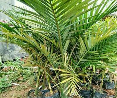 广西壮族自治区钦州市灵山县造型假槟榔树