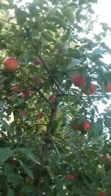 辽宁省鞍山市台安县寒富苹果 纸袋 全红 70mm以上