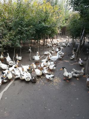 河南省平顶山市鲁山县花边鸭 母 全圈养 4-5斤