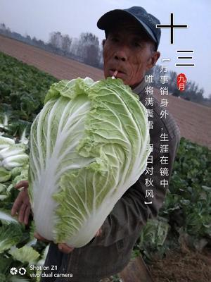 河南省商丘市夏邑县青杂三号白菜 3~6斤 净菜