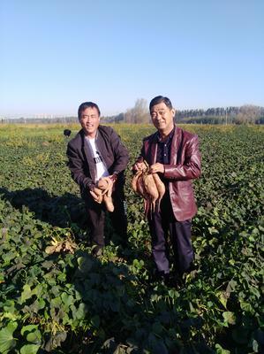 安徽省宿州市泗县龙薯9号红薯苗 15~25cm
