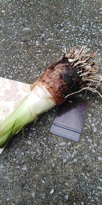 湖南省永州市宁远县江永香芋 6cm以上