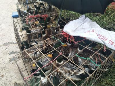 广西壮族自治区南宁市江南区土鸭 公 全散养 4-5斤