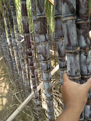 广东省广州市南沙区黑皮甘蔗 2.5 - 3m 5 - 6cm