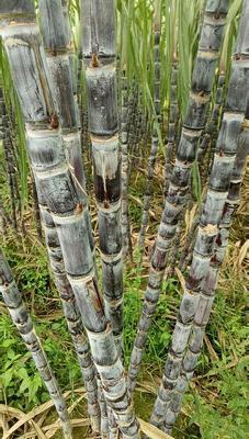 广西壮族自治区玉林市博白县黑皮甘蔗 3m以上 5 - 6cm