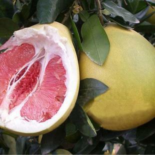 四川省眉山市东坡区红心柚 2.5斤以上