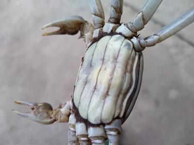 安徽省宣城市宣州区固城湖大闸蟹 0.3两 母蟹