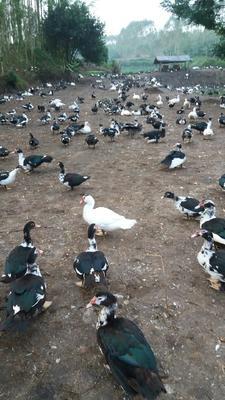 广西壮族自治区北海市海城区番鸭 公 全散养 9-10斤