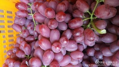 四川省凉山彝族自治州冕宁县克伦生葡萄 10%以下 1次果 1.5- 2斤