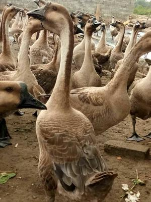 这是一张关于狮头鹅苗的产品图片
