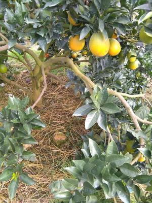 这是一张关于纽荷尔脐橙 65 - 70mm 4两以下的产品图片