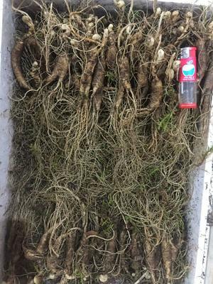 这是一张关于林下参人参 鲜参的产品图片