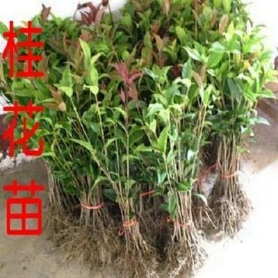 这是一张关于桂花树苗的产品图片