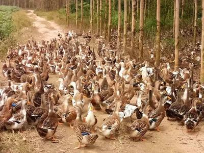 这是一张关于麻鸭 统货 全散养 5-6斤的产品图片