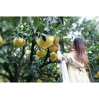 这是一张关于玉环文旦柚 3.5斤以上的产品图片