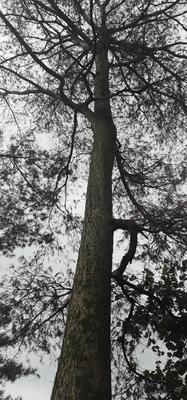 这是一张关于马尾松 30.0米的产品图片