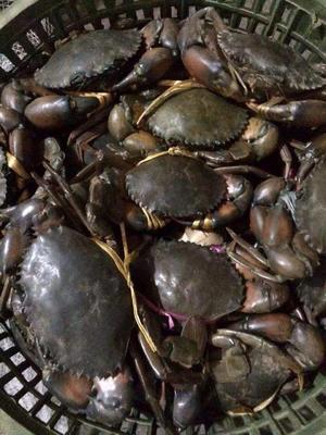 这是一张关于青蟹 2.0-2.5两 统货的产品图片