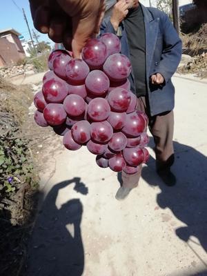 河北省秦皇岛市卢龙县巨峰葡萄 5%以下 1次果 0.8-1斤