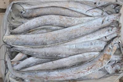河南省新乡市卫滨区海南带鱼 人工殖养 4-6公斤