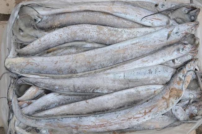 海南带鱼 人工殖养 4-6公斤