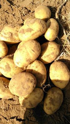 这是一张关于陇薯7号 2两以上的产品图片