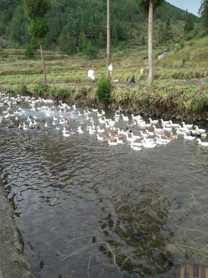 这是一张关于花边鸭 统货 全散养 3-4斤的产品图片