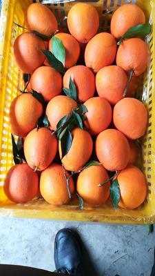 湖南省怀化市麻阳苗族自治县纽荷尔脐橙 65 - 70mm 4两以下